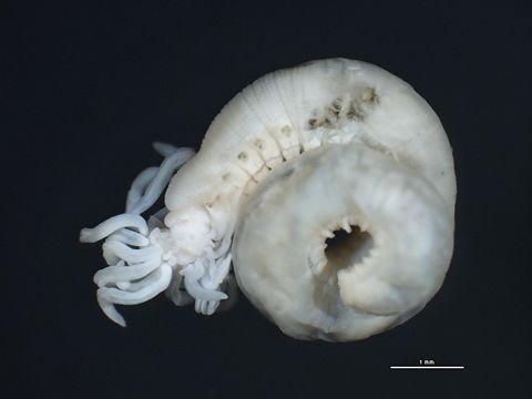 Image of <i>Polycirrus medusa</i> Grube 1850