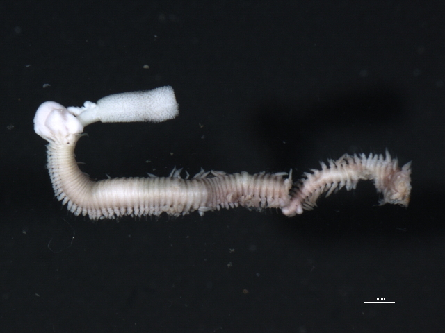 Image of green paddle worm
