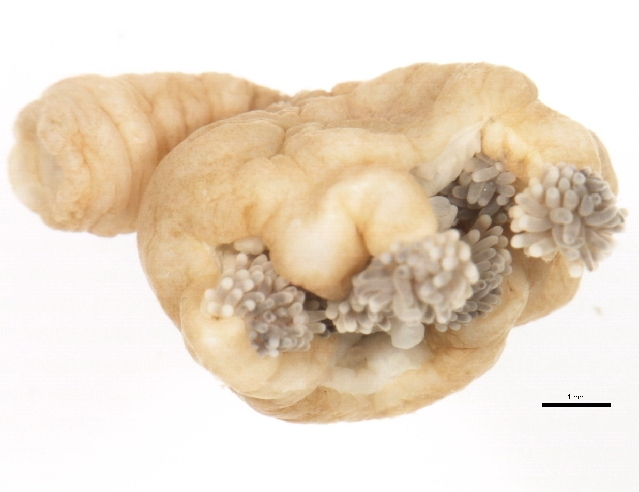 Image of trumpet stalked jellyfish