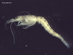 Image of <i>Mysis gaspensis</i> O. Tattersall 1954