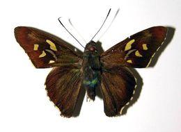 Image of <i>Perichares poaceaphaga</i> Burns