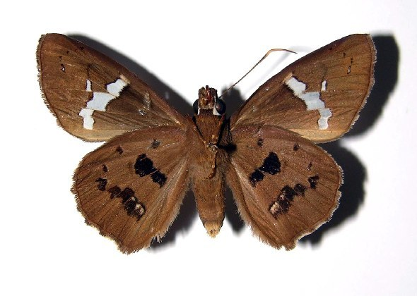 Image of Bungalotis