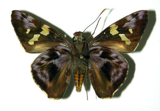 Image of <i>Perichares geonomaphaga</i> Burns