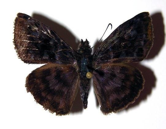 Image of <i>Ebrietas anacreon</i> Staudinger 1876