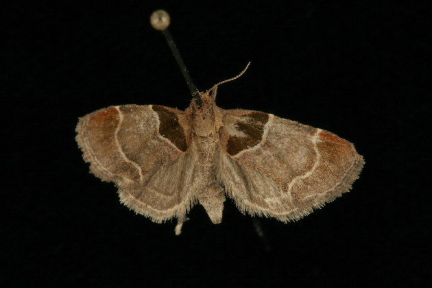 Image of Dimorphic Tosale Moth