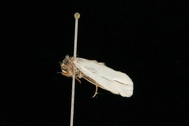 Image of Yucca Moth