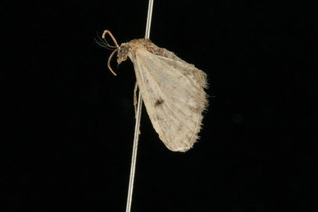 Image of <i>Eupithecia fletcherata</i> Taylor 1907
