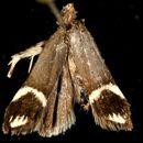 Image of <i>Anacampsis tristrigella</i> Walsingham 1882