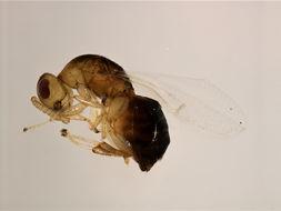 Image of <i>Sycobia</i>