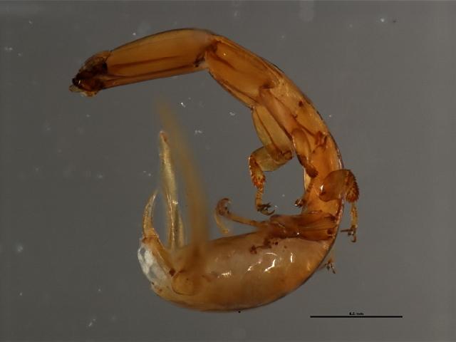 Image of <i>Apocryptophagus</i>
