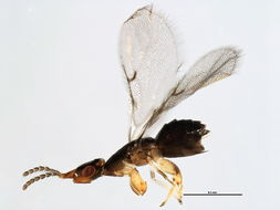 Image of <i>Blastophaga</i>
