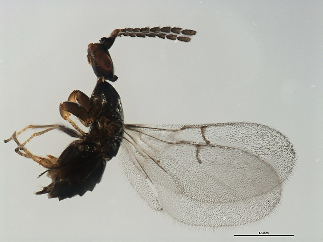 Image of Blastophaga