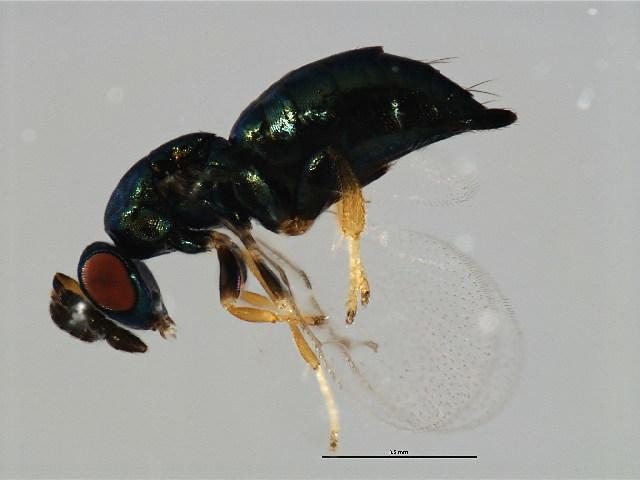 Image of <i>Micranisa</i>