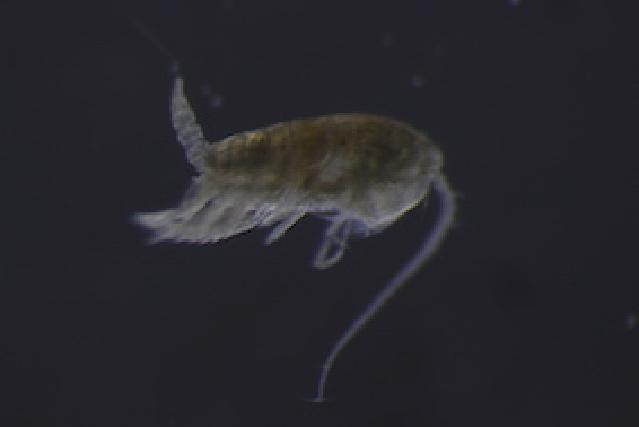Image of Calanopia