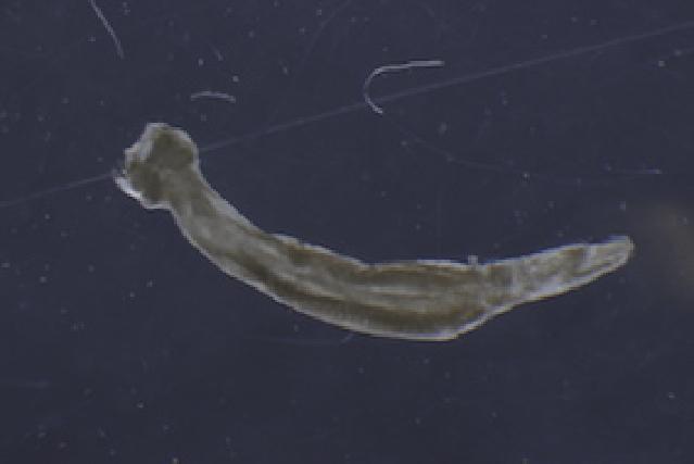 Image of Flaccisagitta