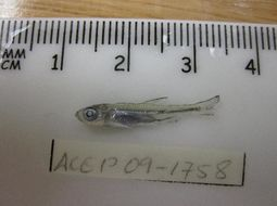 Image of African tetras