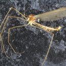 Image of Neolimnomyia