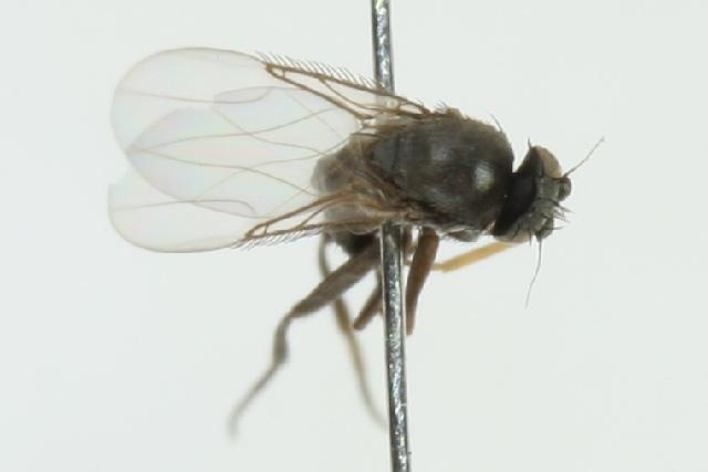 Image of <i>Megaselia clara</i> (Schmitz 1921)