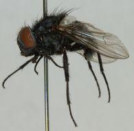 Image of <i>Graphomya ungava</i> Arntfield 1975