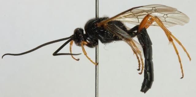 Image of <i>Ichneumon lariae aurivillii</i> (Roman 1916)