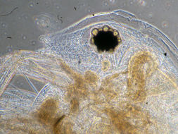 Image of <i>Daphnia</i> (<i>Ctenodaphnia</i>) <i>exilis</i> Herrick 1895