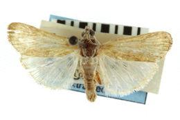 Image of Alatuncusia