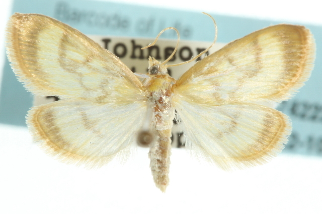 Image of Pale-winged Crocidophora moth