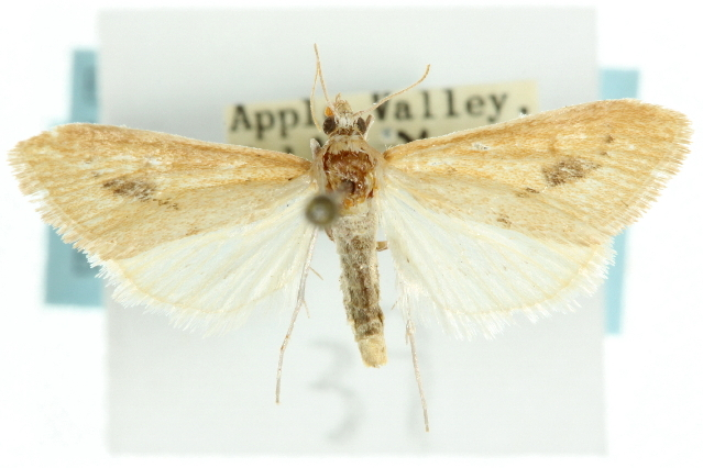 Image of <i>Arenochroa flavalis</i> Fernald 1894