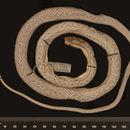 Image of <i>Alsophis portoricensis</i> ssp. <i>anegadae</i> Barbour 1917