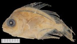 Image of Schedophilus