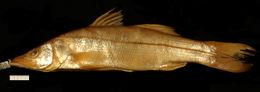 Image of <i>Centropomus appendiculatus</i> Poey ex Poey 1860