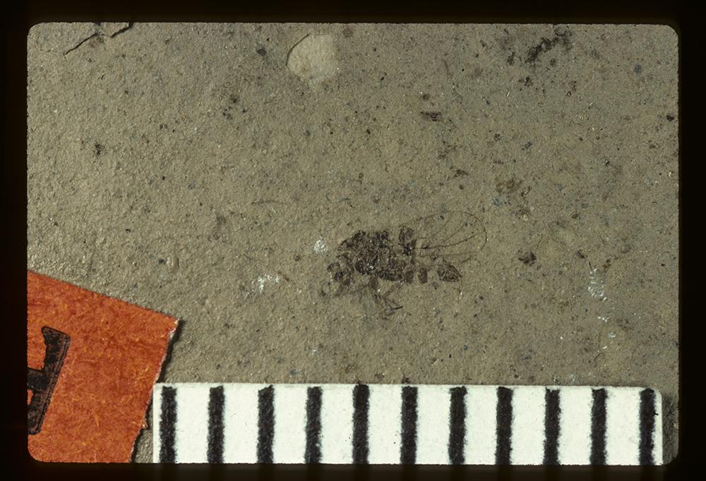 Image of Catopsylla† prima Scudder, 1890