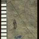 Image of <i>Platystethus archetypus</i> Scudder 1900