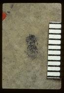 Image of <i>Attagenus sopitus</i> Scudder 1900