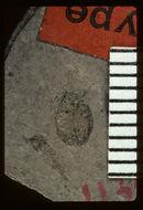 Image of <i>Nosotetocus debilis</i> Scudder 1900