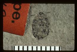 Image of <i>Nosotetocus vespertinus</i> Scudder 1900