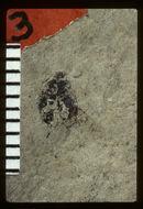Image of <i>Nosotetocus marcovi</i> Scudder 1892