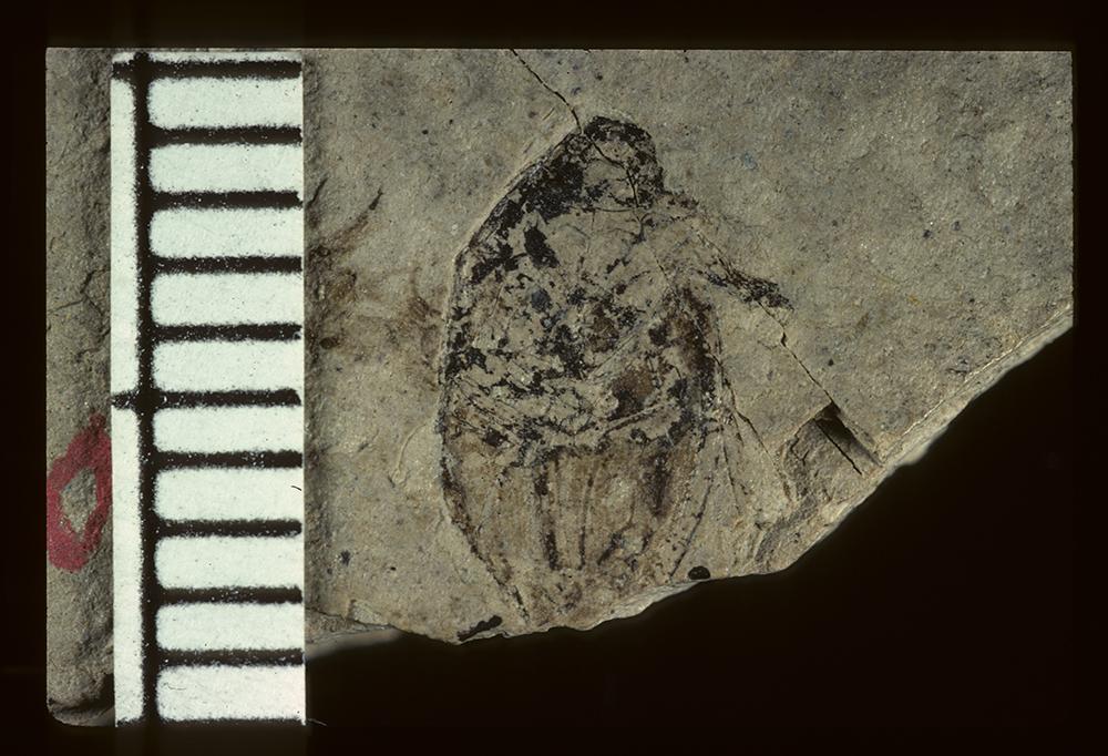 Image of <i>Cytilus tartarinus</i> Scudder 1900