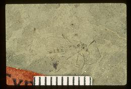 Image of <i>Rhabdomastix primogenitalis</i> (Scudder 1894)