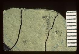 Image of <i>Rhabdomastix frigida</i> (Scudder 1894)