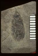 Image of <i>Hydrophilus extricatus</i> (Scudder 1900)