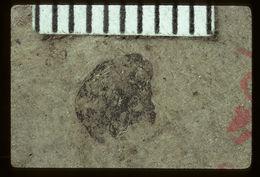 Image of <i>Paltorhynchus depratus</i> (Scudder 1893)