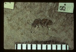 Image of <i>Protoibalia connexiva</i> Brues 1910