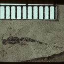 Image of <i>Ormyrodes petrefactus</i> Brues 1910