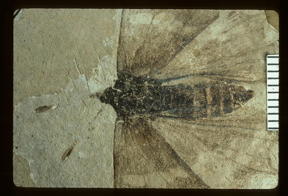 Image of <i>Prodryas persephone</i> Scudder 1878