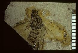 Image of <i>Geotiphia foxiana</i> Cockerell 1906
