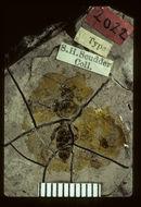 Image of <i>Lithotiphia scudderi</i> Cockerell 1906