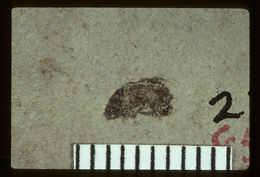 Image of <i>Ataenius patescens</i> Scudder 1893