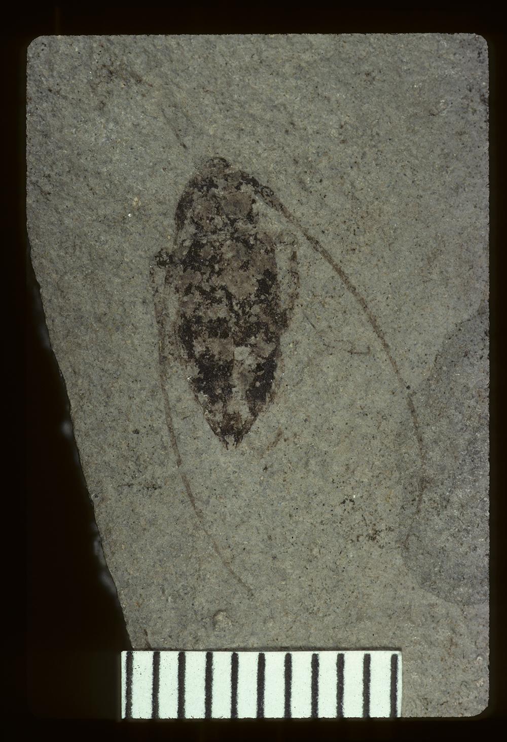 Image of <i>Leptostylus scudderi</i> Wickham 1914