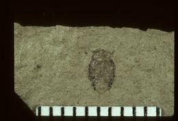 Image of <i>Bruchus carpophiloides</i> Wickham 1914